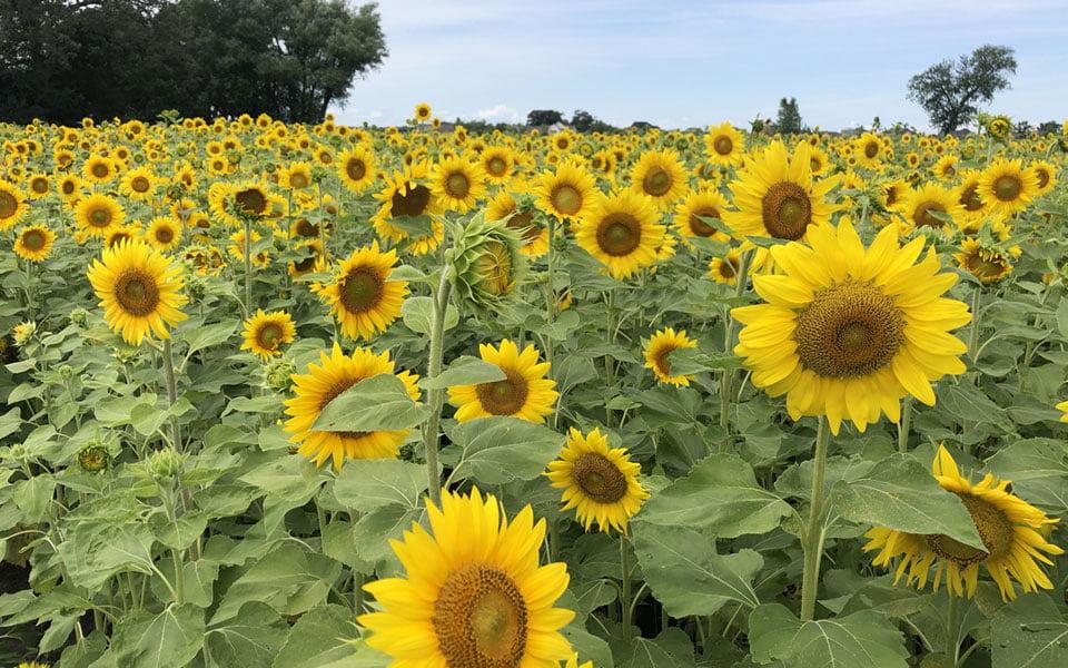 """أفضل حقول عباد الشمس في مدينة """"شيكاغو"""""""