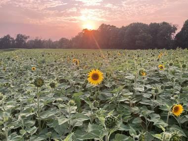 Lannon Sunflower Farm